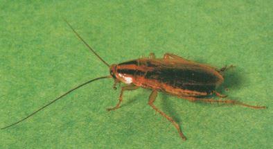 Blatella Germanica (Cucaracha Alemana)