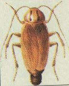 Cucaracha Alemana con Ooteca