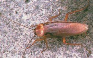 Cucaracha Americana buscando refugio