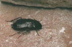 Cucaracha Oriental escondite