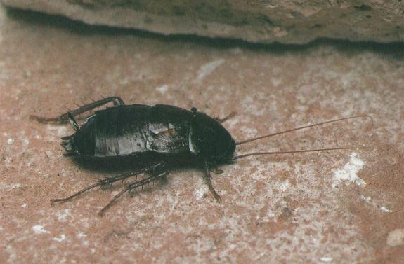 Blatta Orientalis (Cucaracha Oriental)