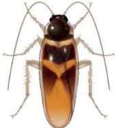 Cucaracha de Banda Marron