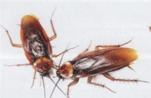 Cucaracha Americana macho