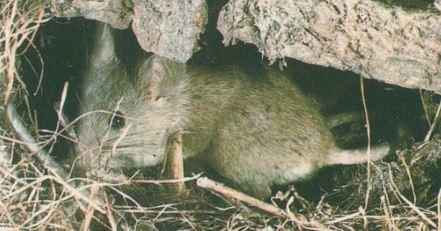 Ratón Doméstico (Mus Musculus).