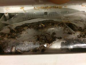 termitas comiendo igr´s
