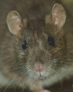Rata Gris (Rattus Norvegicus)