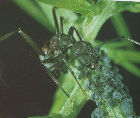 Las hormigas (Principales Especies y Costumbres)