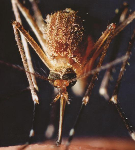Insectos voladores mosquitos