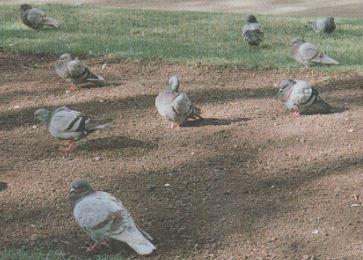Las aves como plaga (Principales especies, biología y problemática)