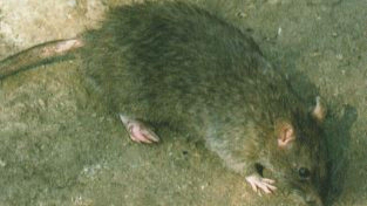 Identificación de ratas