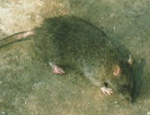 donde vive la Rata Gris o de alcantarilla (Rattus Norvegicus)