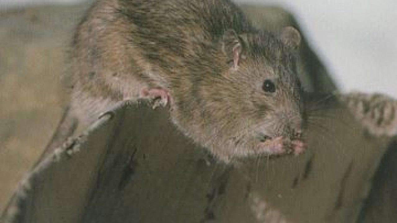 Hechos sobre las ratas: Lo que comen, tamaño, duración de vida
