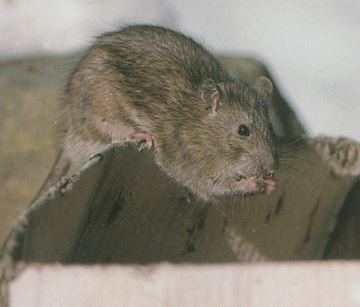 Rata Gris (Rattus norvegicus), su vida y costumbres.