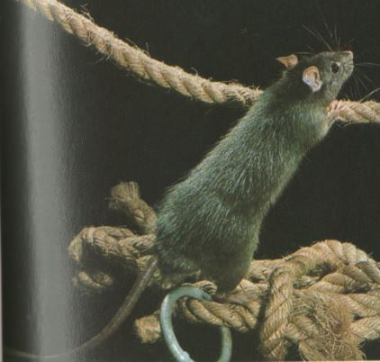 roedores rata gris